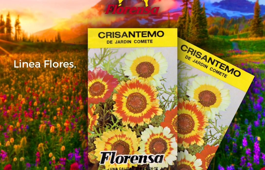 Crisantemo de Jardin Comete